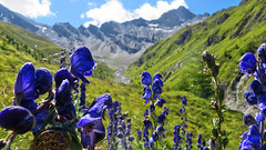 "Monks Hood - Val Maisas - In search for ""das rotes Seeli"" - Samnaun - Graubnden - Schweiz (Felina Photography, back in NL) Tags: monkshood monnikskap aconitum aconite flowers flora fiori montana alpina alpine felinafoto felinaphotography felina photographer photography fotografia fotografie fotografo fotografa tourism turismo toerisme turismus tourismus hiking hike tour trip adventure hotspot excursion escursione excursions escursioni excursie tocht uitje ausflug gita poster wallpaper switzerland suisse svizzera schweiz zwitserland alps alpi alpen mountain montagna montagne landscape landschap paysage paesaggio nature natura natuur     graubnden grigioni grisons grischun"