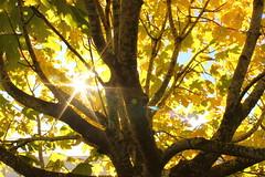 Autumn sun (Freyja H.) Tags: sun sky tree leaf foliage autumn fall equinox outdoor nature maple hlynur sl garahlynur lauf haust jafndgri light backlight