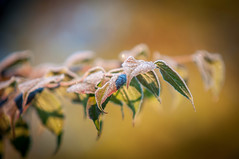 Frost leaf (Ruthgard) Tags: autumn ice photography leaf hst fost