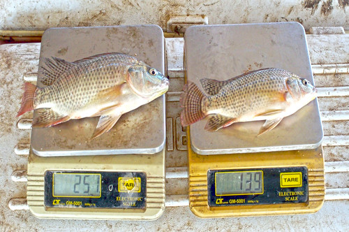Genetically improved Nile tilapia. Photo by  Gamal El-Naggar, 2011.