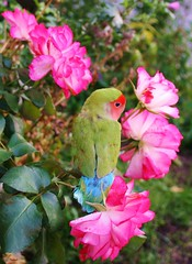 Summer Whispers In Autumn (bigbrowneyez) Tags: pink blue roses orange pet green bird fall beautiful petals dof sweet bokeh gorgeous exotic precious cutiepie lovely charming mygarden lovebird delightful thegalaxy flickrbirdie shylittleone summerwhispersinautumn
