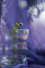 morao, morao, morato (Tinta China2007) Tags: felicia luces bokeh margarita bella alegre pequea alegra pauelo morado enfoque menuda 20tfdof dicharachera