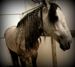 Trenzitas (juliet_earth) Tags: show horses horse animals caballo caballos animales cavalia horselover