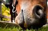 Eating Grass (astrange) Tags: horse hest dyrehaven ridning eatinggrass sigma1770f284 nikond7000