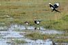 Stand-off 13 (SteveRotherPhotography) Tags: bird nature birds animal animals fauna hawk wildlife devon magpie faceoff raven birdsofprey birdofprey sparrowhawk standoff dawlish dawlishwarren
