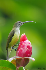 Little SpiderHunter (kengoh8888) Tags: wild flower green yellow pose little pentax background creamy k5 longbeak smallbird thegalaxy spiderhunter mygearandme mygearandmepremium mygearandmebronze mygearandmesilver mygearandmegold mygearandmeplatinum