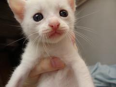 The sweet Snow Bell (Circe Licht) Tags: cats white snow cute branco cat kitten kat chat candy blueeyes gatos gato gata fofo whitecat branca katz kittie babycat snowbell gatas mingau gatabranca gatobranco bebegato