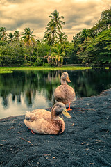 Hawaiin ducks on a black sand beach (Dancing Chicken) Tags: trees lake clouds blacksand hawaii ducks hilo hilohawaii