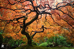 Japanese Maple (Chris Ross Photography) Tags: tree gardens oregon portland japanese maple redyacoltwashingtonunitedstates
