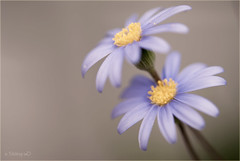 soft blues (stacey catherine) Tags: flowers blue flower nature closeup daisies garden petals spring pretty ngc npc daisy awesomeblossoms