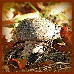 Grauwe Amaniet  - Gray Amaniet (Cajaflez) Tags: autumn holland mushroom automne ngc herbst herfst nederland thenetherlands panasonic npc funghi champignon paddestoel pilz boletus thegalaxy abigfave amaniet mygearandme mygearandmepremium mygearandmebronze dmcfz150 ruby5 flickrstruereflection2 flickrstruereflectionlevel1 grauweamaniet