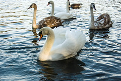 "Swans at Bolam Lake, Northumberland • <a style=""font-size:0.8em;"" href=""https://www.flickr.com/photos/21540187@N07/8142561467/"" target=""_blank"">View on Flickr</a>"