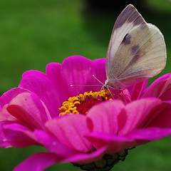 flower and butterfly (SS) Tags: camera pink light italy flower macro green colors yellow composition contrast butterfly garden square photography countryside october focus peace dof angle pentax pov perspective gimp crop framing zinnia fiore comments lazio k5