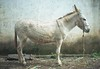 _ (Lima Araujo) Tags: brazil film brasil nikon lima burro fernando epson asno jumento cavalo fm2 curral jegue fernandolima v500 burrinho