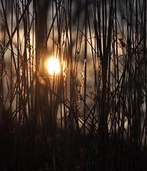 every day we find gold (christiaan_25) Tags: trees winter sunset orange sun sunlight black grass sunshine gold sundown stems late distance depth tallgrass