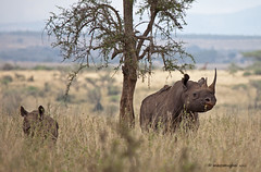 IMG_1286_ Black rhinoceros (maqsmughal) Tags: kenya nairobinationalpark maqs canon5dmk2 naturesgreenpeace lens100400lisusm allofnatureswildlifelevel1 allofnatureswildlifelevel2 blackrhinocerosandcalf