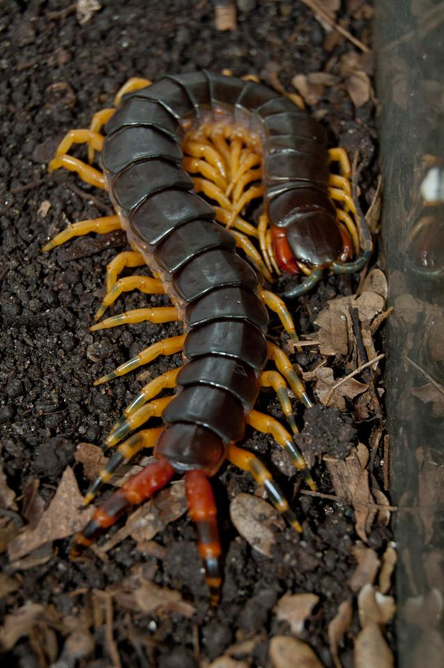 The World's most recently posted photos of giant and scolopendra