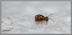 Taking the lonely walk (Jon.1972) Tags: macro conversion panasonic glob springtail globular dcr250 raynox bridgecamera dicyrtominasaundersi fz45