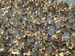 Duckling herd (jurassicjay) Tags: travel india birds asia wildlife ducks ducklings andhrapradesh