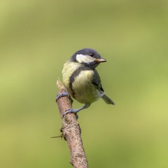 Juvenile Great Tit - Aberdovey, Wales. (johnlunt) Tags: uk portrait colour cute bird