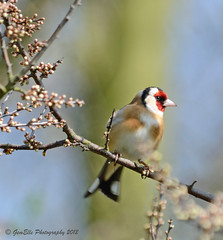 Goldfinch in Spring (GemElle Photography) Tags: red bird gold nikon goldfinch feathers finch gemelle d3100 gemelle1