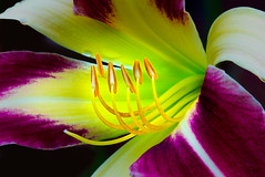 "Remember Summer - ""Watchyl Dancing Spider"" Daylily (P C Chang) Tags: red summer orange flower green beautiful yellow garden gold flora lily blossom daylily bloom splendid flowersarebeautiful excellentsflowers natureselegantshots exquisiteflowers mimamorflowers flickrflorescloseupmacros panoramafotogrfico pcchang thebestofmimamorsgroups flickrsportal rememberthatmomentlevel4 rememberthatmomentlevel1 magicmomentsinyourlifelevel1 rememberthatmomentlevel2 rememberthatmomentlevel3 onlythebestofflickr watchyldancingspiderdaylily"