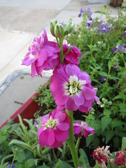 Pink Flowers (shaire productions) Tags: flowers plants plant flower green nature floral leaves leaf natural image picture pic vegetation imagery