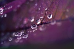 Droplets (j man ) Tags: life lighting friends light color macro reflection art nature floral colors beautiful rain closeup lens photography droplets leaf drops cool flickr day dof bokeh pov background sony details extreme favorites 11 depthoffield pointofview rainy sp ii views di if raindrops f2 closeness tamron comments ld jman a300 af60mm mygearandme mygearandmepremium flickrbronzetrophygroup