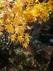 Sankeien Vol.10 (nineblue) Tags: autumn japan japanesegarden maple autumnleaves hiroshima autumncolors    sankeien