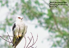 Looking at you (r0ysuman) Tags: nikon p 530 bird birds sanctuary india fauna wild life dwarf black shouldered kite kanpur