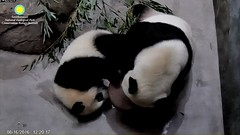 2016_08-16q (gkoo19681) Tags: beibei meixiang treatspool curious stealing spoolbattle ccncby nationalzoo