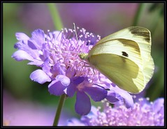 IMG_8143 Has a Thing for Lavender 7-24-16 (arkansas traveler) Tags: cabbagewhitebutterfly butterfly bichos bugs insects flowers pincushionflower scabiosacolumbaria nature naturewatcher bokeh bokehlicious zoom telephoto
