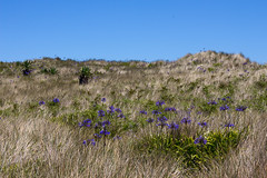IMG_4551_edited-1 (Lofty1965) Tags: islesofscilly ios tresco agapanthus