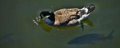 Symbiosis (swong95765) Tags: goose fish river swimming water wildlife canadagoose bird animal underwater beneath
