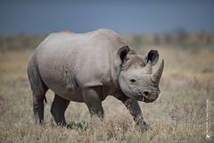 DSC_3330.JPG (manuel.schellenberg) Tags: namibia etosha nationalpark animal rhino blackrhino