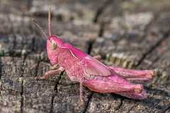 Pink Lady (Andrea Heinlein) Tags: insekt makro caelifera detail feldheuschrecke flgel fhler grashpfer grille heuschrecke kurzfhlerschrecke mutation natur pflanze rosa schrecke selten sommer tier