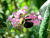 Bumblebee (tinica50) Tags: macro bee bug bumblebee nature insects mamangava