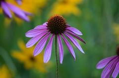 Rudbeckia (careth@2012) Tags: nature rudbeckia petals