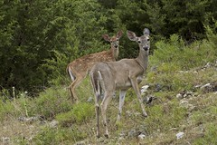 Home, home on the range (Pejasar) Tags: deer cypressspringsranch texas mammal fawn cute nature