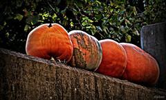 En Septiembre... (Franco DAlbao) Tags: francodalbao dalbao lumix calabazas cabazas pumpkins otoo autumn cosecha harvest fruto fruit vilaza gondomar galicia muro wall rural