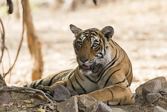 T 84 Arrowhead (sunnyoberoi) Tags: tiger mammal stripes wild cat profile ranthambore rajasthan royalbengaltiger travel nature safari thrill jungle tigerreserve