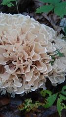 Cauliflower mushroom. (lspisak33) Tags: mushroomforaging mushrooms cauliflowermushroom mycology ohio amishcountry