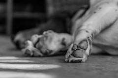 Let Sleeping Dogs Lie (SowfPaw) Tags: paw basset hound spots pet dog animal sleepy fur perro a6000 sigma