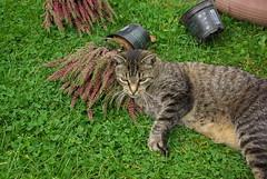 Jonas (ute_hartmann) Tags: jonas kater katze garten heide cat