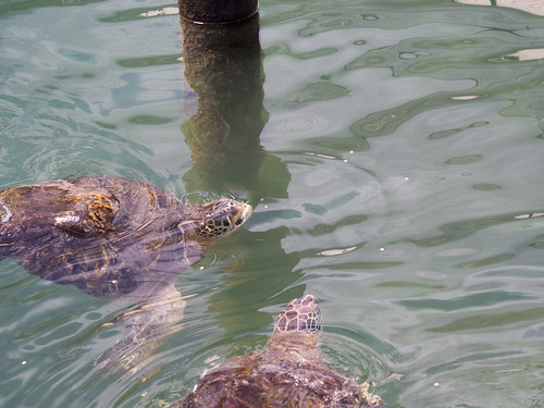Green turtles eating