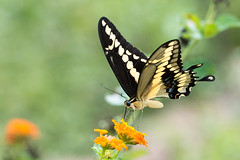 Giant swallowtail (jim_mcculloch) Tags: dsc6875 butterflies lepidoptera