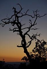 (robra shotography []O]) Tags: albero silhouette crepuscolo dusk tree sooc