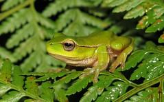 Leaf-green Stream Frog (Litoria phyllochroa) (Heleioporus) Tags: leafgreen stream frog litoria phyllochroa south sydney new wales