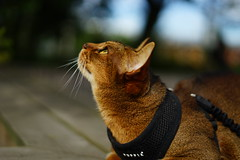 Lizzie under the bird's nest. (DizzieMizzieLizzie) Tags: abyssinian aby beautiful wonderful lizzie dizziemizzielizzie portrait siesta cat chats feline gato gatto katt katze katzen kot meow mirrorless pisica sony a7ii