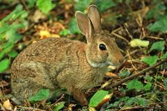Rabbit (ninominervino) Tags: nino minervino parco arcadia bareggio coniglio rabbit